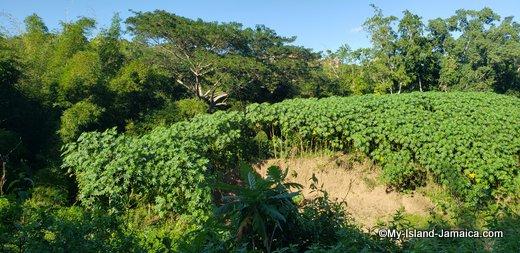 rastafari_indigenous_village_jamaican_castor_oil_field