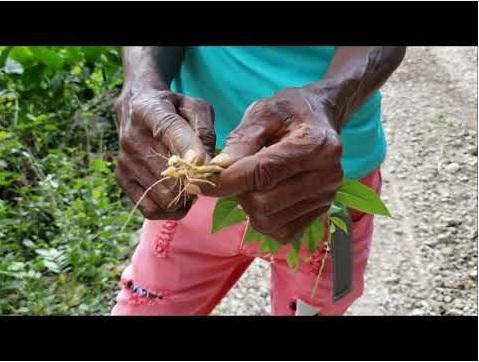 roaring_river_jamaica_nature_tour_guiney_hen_plant