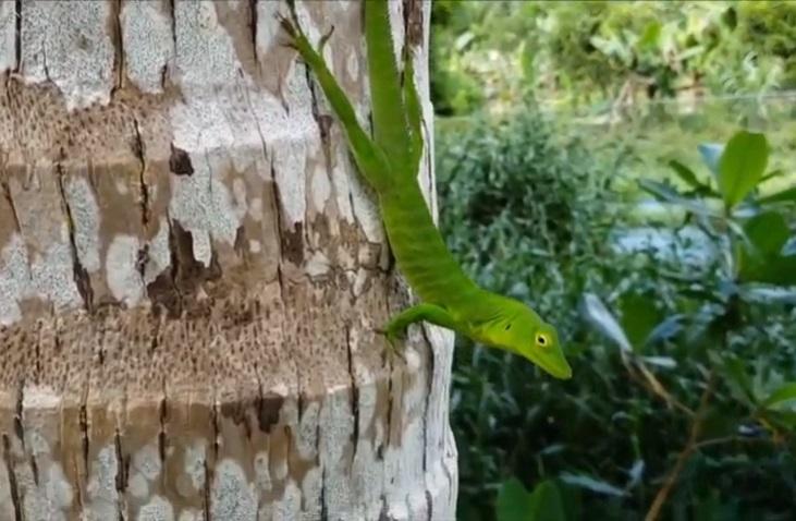 the green lizard at roaring river falls