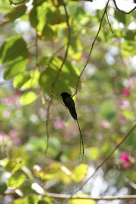 The Doctorbird - Jamaica's Hummingbird