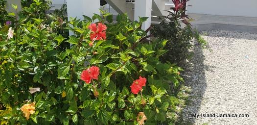 villa_in_jamaica_ivys_cove_hibiscus_plant