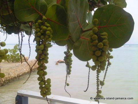 blue waters_grill_south_coast_sea_grapes